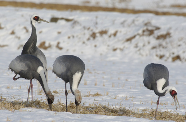 Korea: Winter birding Jan, 2011: Gangwha-Do, Sin Cheorwon-Do, lots of Cinereous Vultures