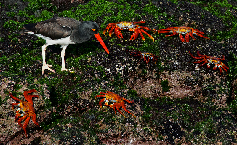 Sally Lightfoot crabs and Oyster Catcher