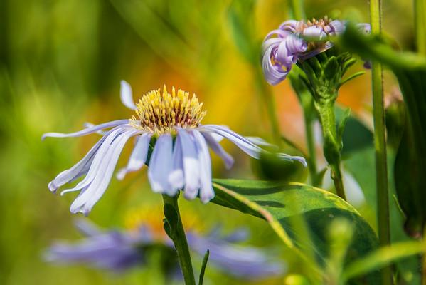 Echinacea/ Coneflower