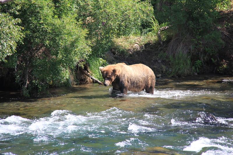 20160713-058 - Katmai NP-Brooks Camp-Bear at Ripples.JPG