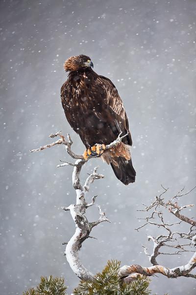 Eagle perched 1.jpg
