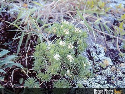 Tetramolopium lepidotum subsp. lepidotum