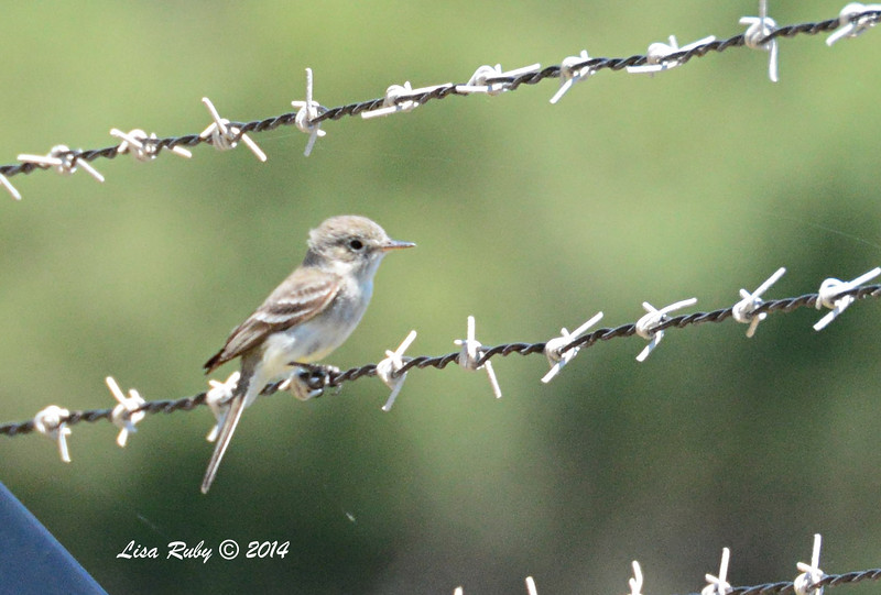 Empidonax species unidentified - 5/4/2014 - Fort Rosecrans National Cemetery