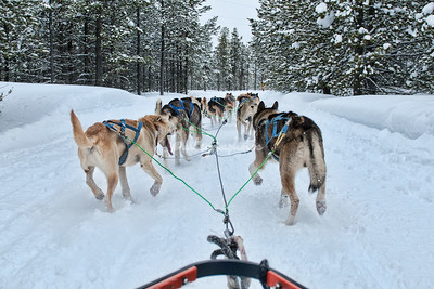 Montana dog sledding