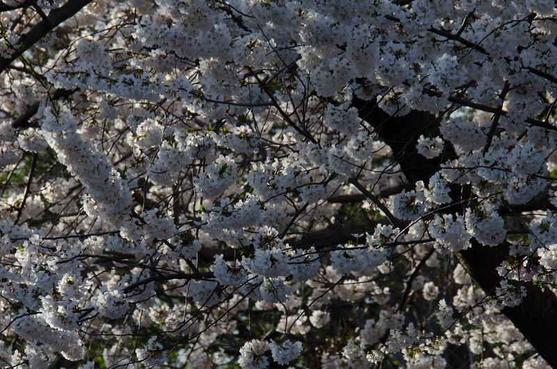 Cherry Blossom Tidal Basin Early Morning -46.jpg