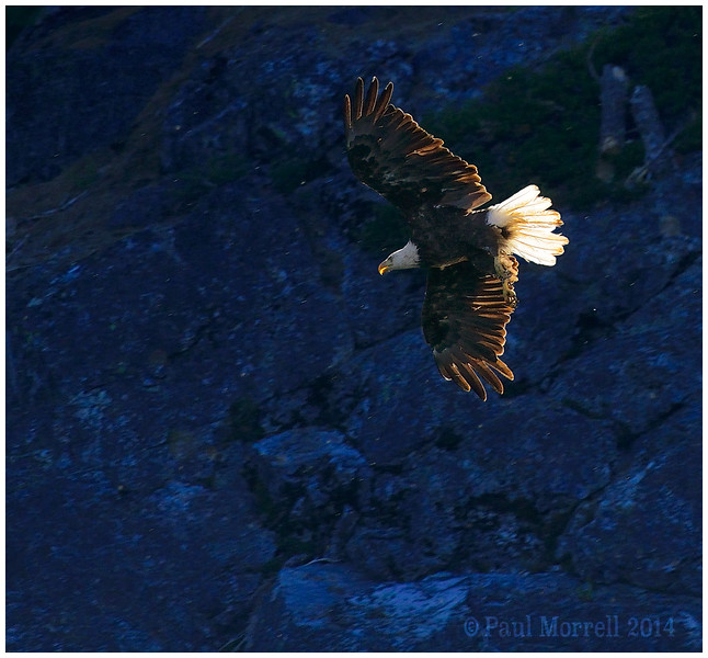 Blue Rock Bald Eagle