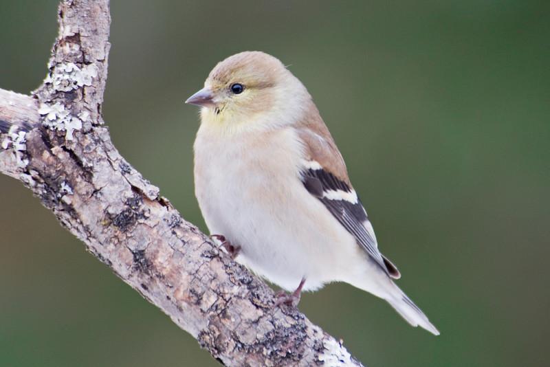 Goldfinch - American - winter - Dunning Lake, MN - 02