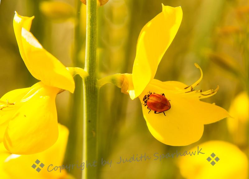 Ladybug on Broom - Judith Sparhawk