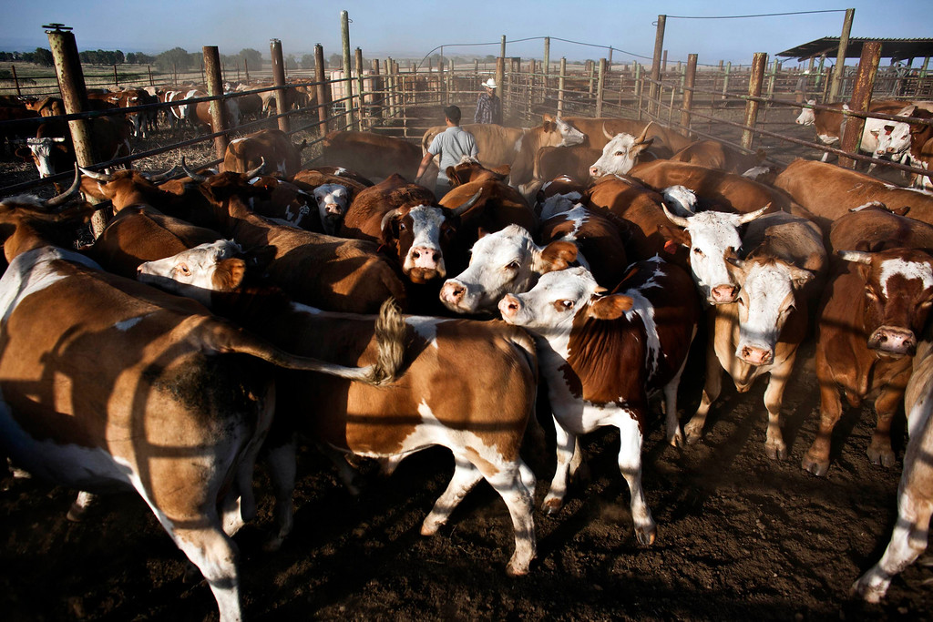 . Alon, an Israeli cowboy, pushes cattle into their pen in the early morning on a ranch just outside Moshav Yonatan, a collective farming community, about 2 km (1 mile) south of the ceasefire line between Israel and Syria in the Golan Heights May 21, 2013. REUTERS/Nir Elias