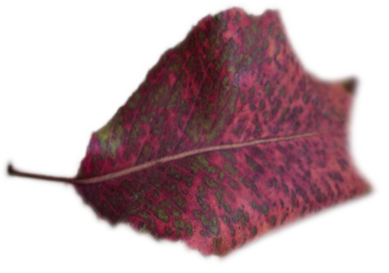 Leaf 46.png