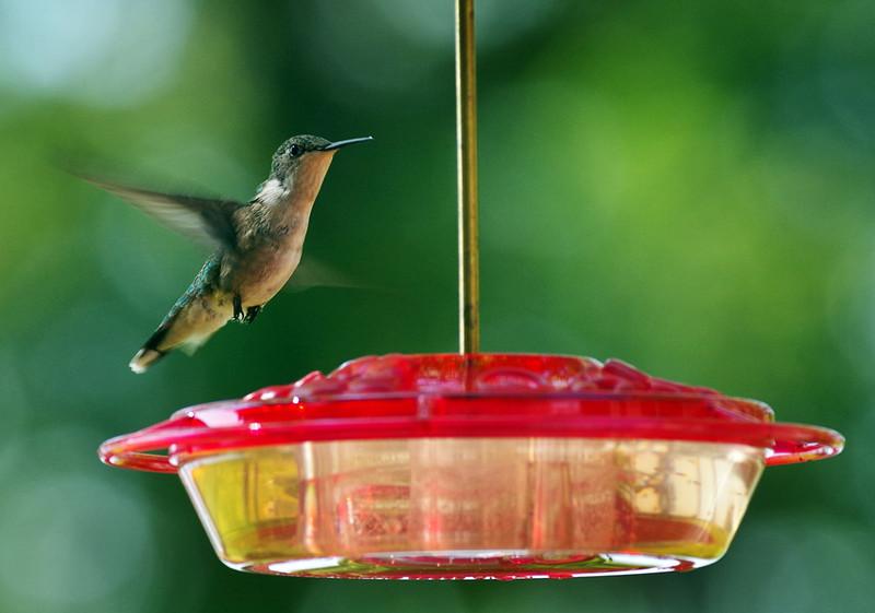hummingbird_thorpe.jpg