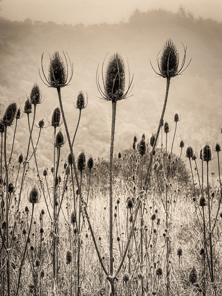 Indian Teasel, Study 3, Gualala, CA