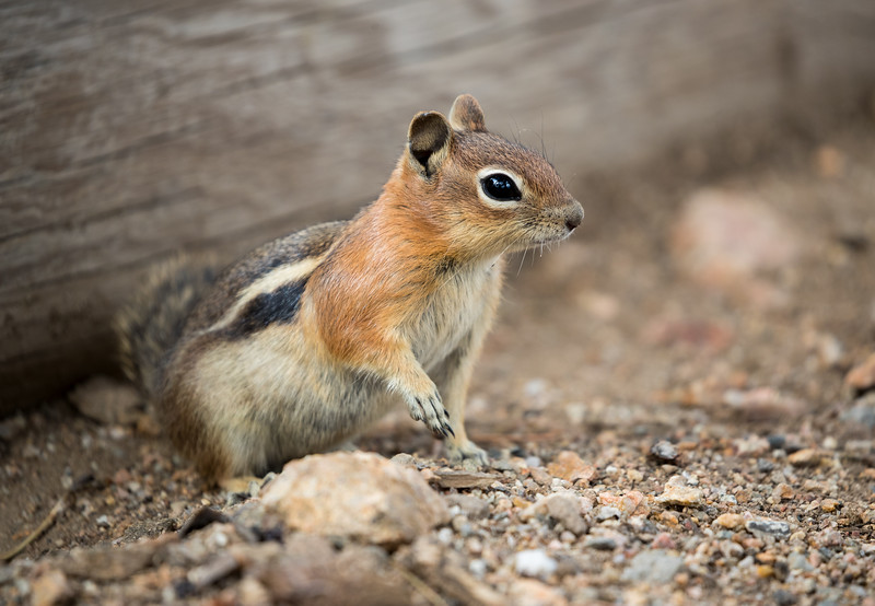 Chipmunk coming out of hiding.jpg