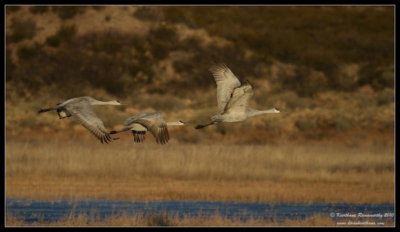 Sandhill Cranes early morning takeoff from a frozen lake, Bosque Del Apache, Socorro, New Mexico, November 2010