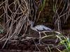 Tarcoles River - White Ibis
