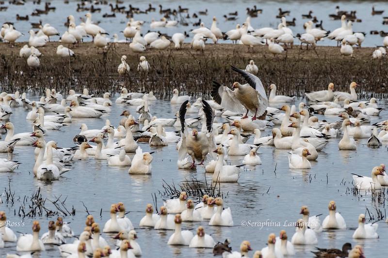 _DSC8875Landing Snow Geese.jpg
