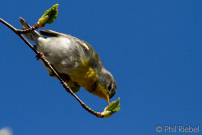 Northern Parula feeding on insects in the new leaves