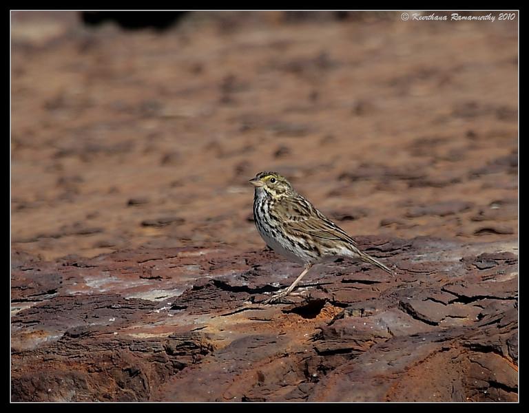 Savannah Sparrow, South Bay Salt Works, San Diego County, California, March 2010
