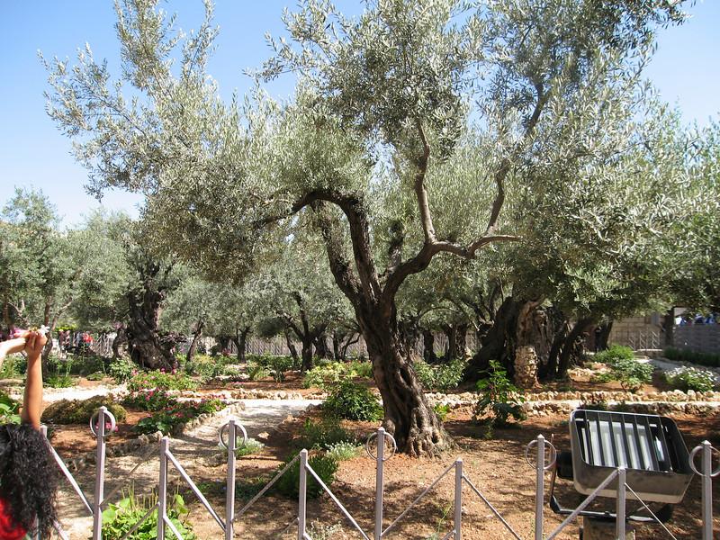 More at the Garden of Gethsamane  http://en.wikipedia.org/wiki/Gardens_of_Gethsemane
