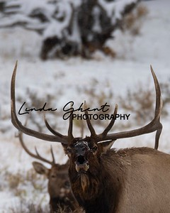 Elk, Moose, Big Horn Sheep & Deer