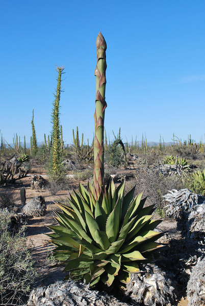 one of the many kinds of Agaves in Baja