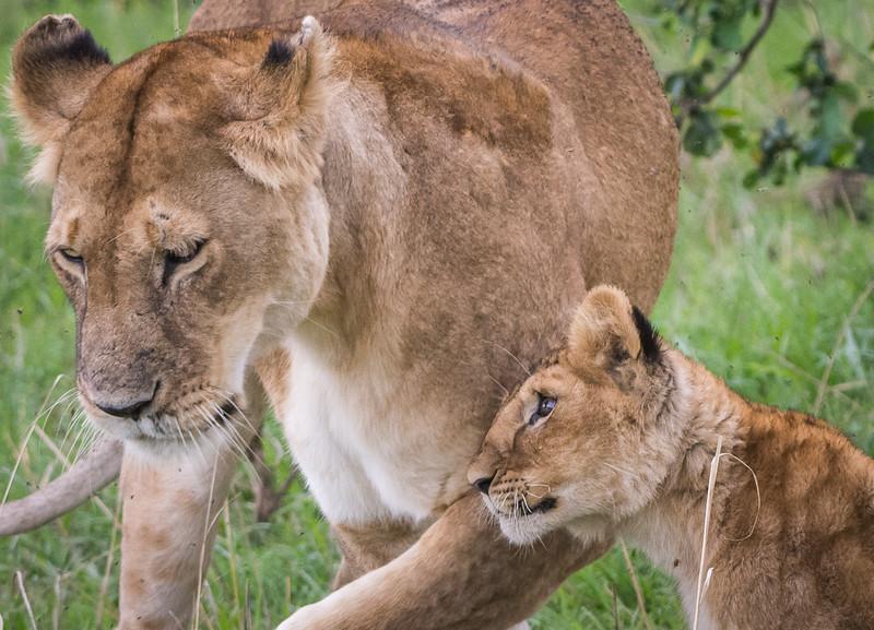 Lions-0144-2-2.jpg