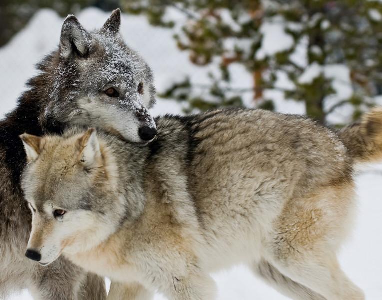 Neck in Neck Wolves2758.jpg