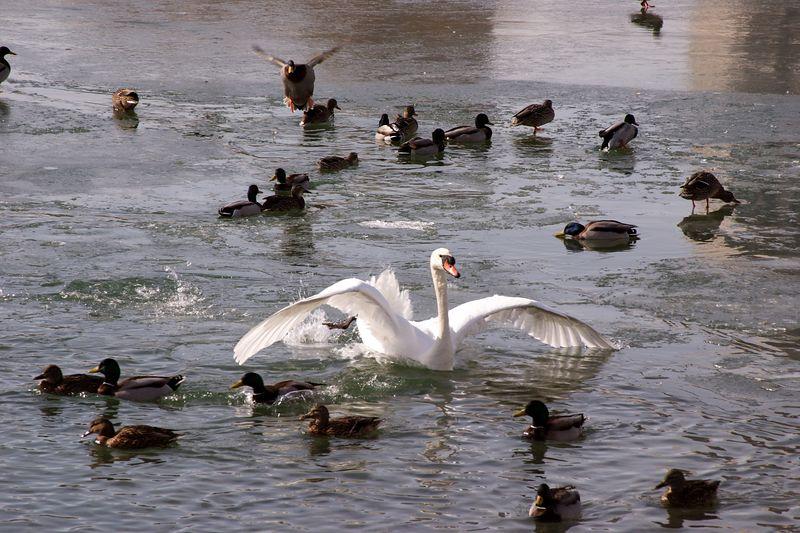 Mallard Ducks and Swan Landing