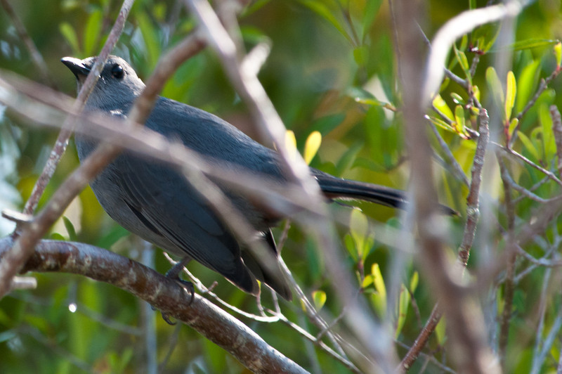 Catbird at Ding Darling Bailey Tract