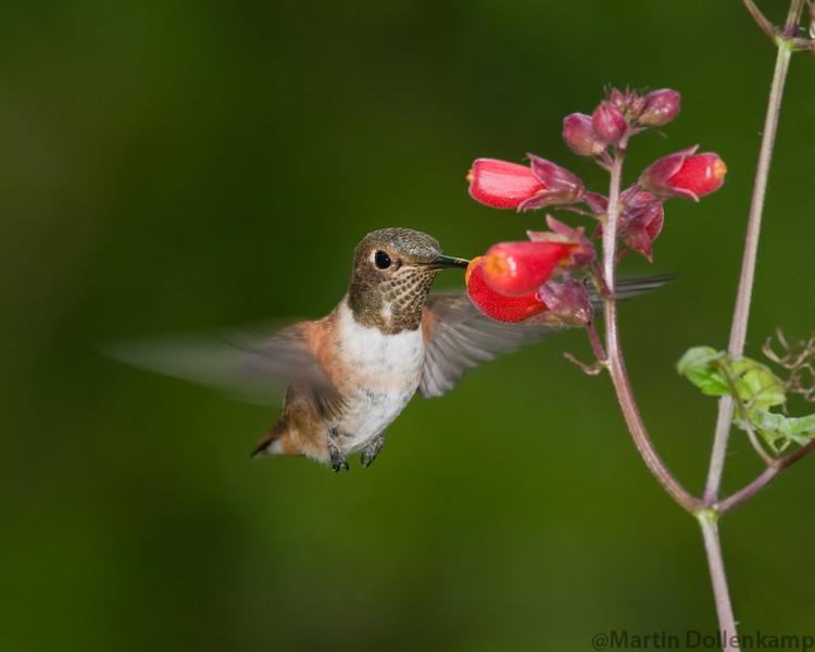 Rufous Hummingbird Selasphorus rufous Feeding on Chilean Glory vine.
