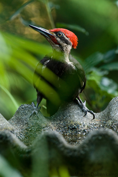 Pileated Woodpecker drinking at the bird bath.