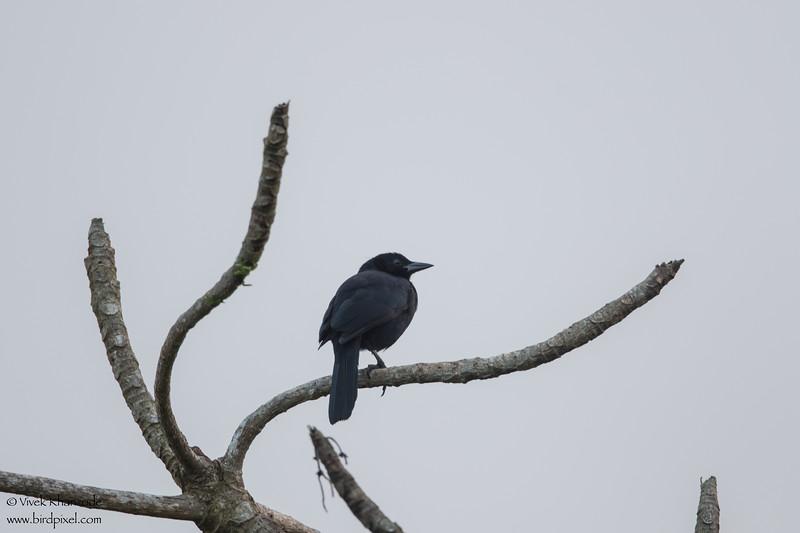 Melodious Blackbird - Hidden Valley Inn & Reserve, Belize