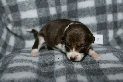 Hope x Mike pups 07 - 2.5 weeks