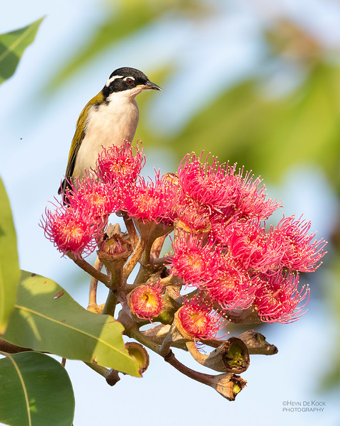 White-throated Honeyeater, Townsville, QLD, Jan 2020-1.jpg