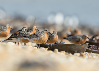 Shorebirds of Delaware
