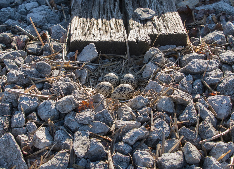 Killdeer-eggs-nest-railroad-tracks2b-Canton.jpg