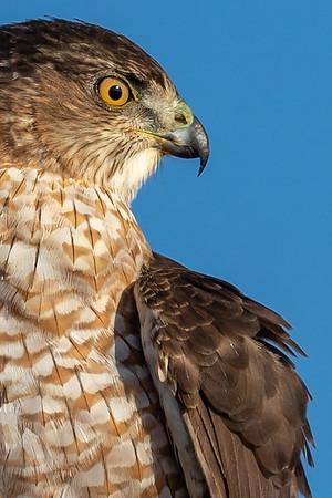 Cooper's hawks