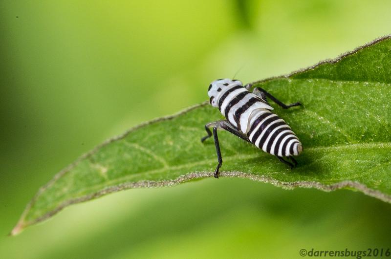 Sharpshooter nymph (Cicadellidae: subfamily Cicadellinae) from Belize.