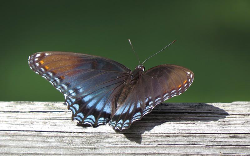 sx50_butterfly_fauna_1127.jpg