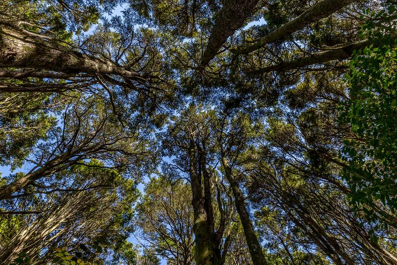Blick hinauf zu den Kauri-Bäumen