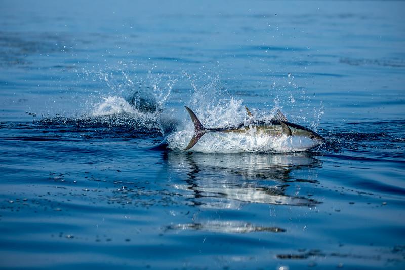 Tuna in Feeding Frenzy
