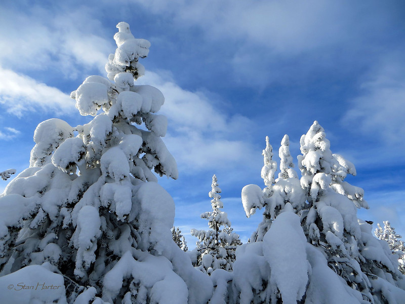 Snow Ghost Pillows on Pines.jpg