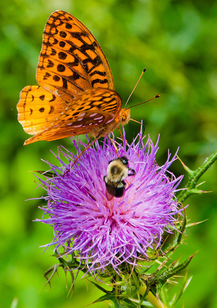 Butterfly and Bee on Thistle, Skyline Drive, Shenandoah National Park, Virginia