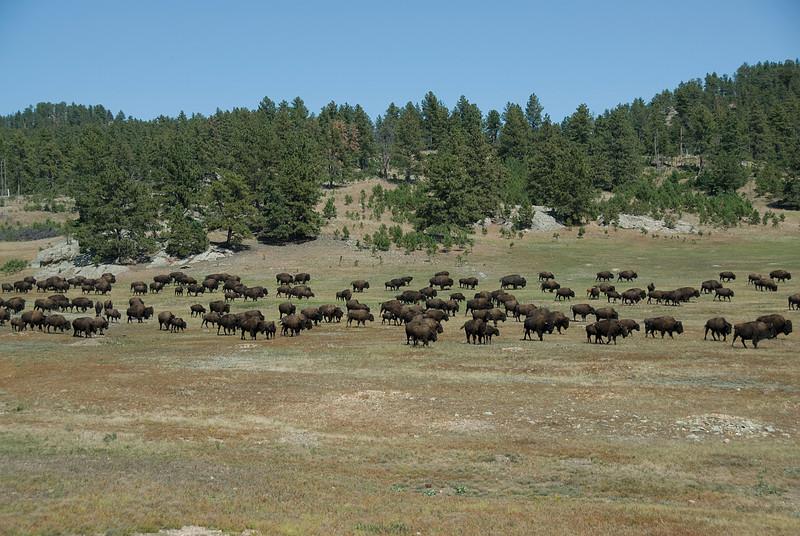 Bisons in Black Hills, South Dakota