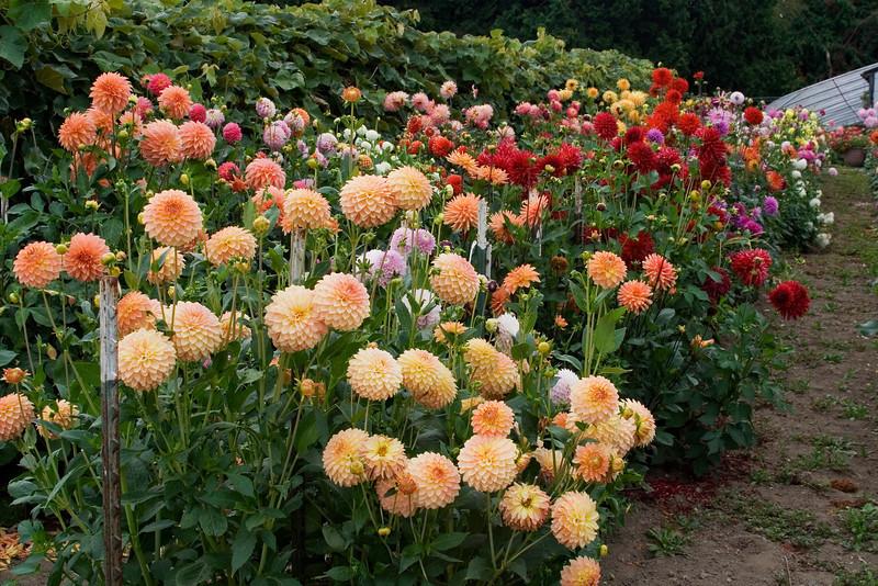 Dahlia Garden 3.jpg