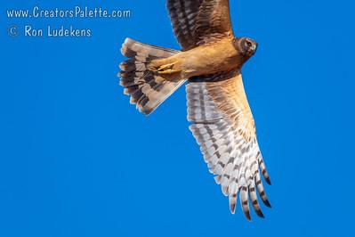 Northern Harrier (Circus hudsonius)