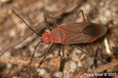 Ground Red Eyes Bug