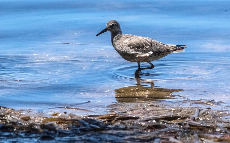 10_2_18 Willet at Fort DeSoto.jpg