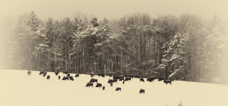 Buffalo-7.jpg
