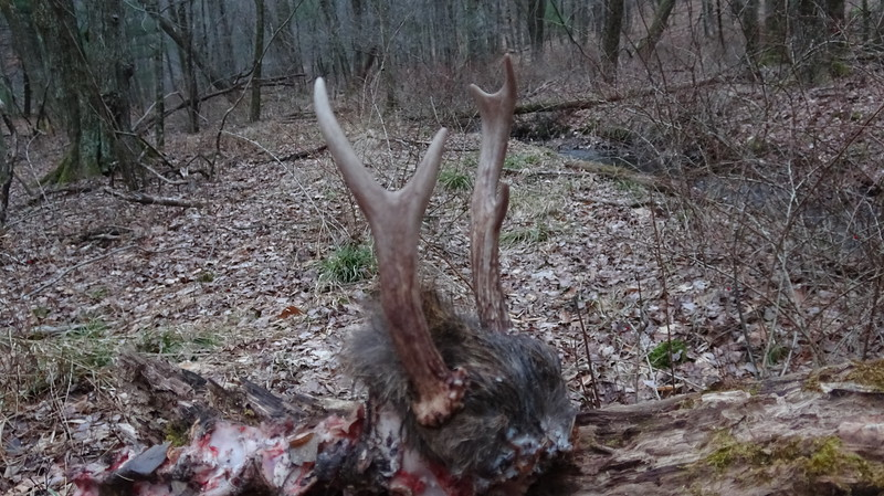 1-10-20...spike buck that I found dead by the brook